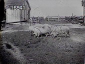 view [Miscellaneous Images in Virginia]: swine and a barn on an unidentified farm. digital asset: [Miscellaneous Images in Virginia] [nitrate negative]: swine and a barn on an unidentified farm.