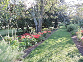 view [Upper Weyanoke]: Red spider lilies reappeared after the border was cleared. digital asset: [Upper Weyanoke]: Red spider lilies reappeared after the border was cleared.: 2017 October 1