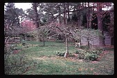 view [Cedarcroft]: view of u-shaped beds with apple trees and white hellebores, looking southwest. digital asset: [Cedarcroft]: view of u-shaped beds with apple trees and white hellebores, looking southwest.: 1999 Apr.