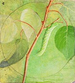 view Sphinx Caterpillar, study for book Concealing Coloration in the Animal Kingdom digital asset number 1