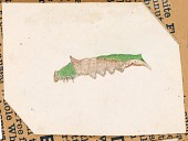 view Oak Leaf Edge Caterpillar, study for book Concealing Coloration in the Animal Kingdom digital asset number 1