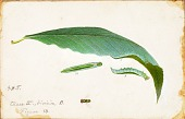 view Unspotted Beach Leaf Edge Caterpillar, study for book Concealing Coloration in the Animal Kingdom digital asset number 1
