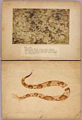 view Fig. VII Copperhead Snake among dead leaves, study folder for book Concealing Coloration in the Animal Kingdom digital asset number 1