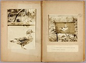 view Stencil Ducks, study folder for book Concealing Coloration in the Animal Kingdom digital asset number 1