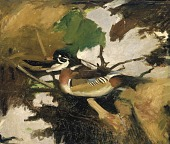 view Male Wood Duck on Shallow Water, study for book Concealing Coloration in the Animal Kingdom digital asset number 1