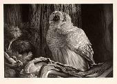 view Barred Owl digital asset number 1