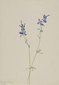 view Blue Larkspur (Delphinium nuttallianum) digital asset number 1