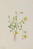 view Alpine Ragwort (Senecio species) digital asset number 1