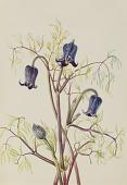 view Leather Flower (Clematis hirsutissima) digital asset number 1