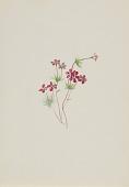 view Gilia linanthus parviflorus digital asset number 1