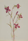 view Farewell to Spring (Godetia amoena lilja) digital asset number 1