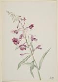 view Fireweed (Epilobium angustifolium) digital asset number 1