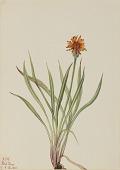 view False Dandelion (Agoseris aurantiaca) digital asset number 1