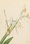 view Spider Lily (Hymenocallis rotata) digital asset number 1