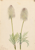 view Plume Anemone (Pulsatilla occidentalis) digital asset number 1
