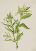 view Yellow Willow-Weed (Epilobium lutem) digital asset number 1