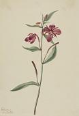 view Red Willowweed (Epilobium latifolium) digital asset number 1