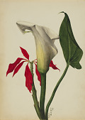 view Untitled (Calla Lily) digital asset number 1