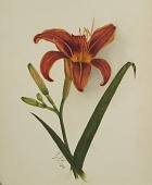 view Untitled (Lily) digital asset number 1