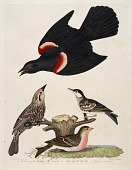 view 1. Red-winged Starling. 2. Female. 3. Black-poll Warbler. 4. Lesser Red-poll digital asset number 1