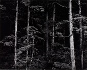 view Untitled (Pines, Trunks) digital asset number 1
