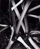 view Untitled (Stalks, Rhubarb) digital asset number 1