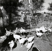 view Beulah's Turkeys, from the Kansas Documentary Survey Project digital asset number 1