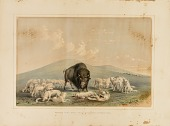 view Buffalo Hunt, White Wolves Attacking a Buffalo Bull--no. 10 digital asset number 1