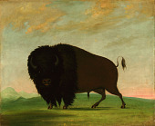 view Buffalo Bull, Grazing on the Prairie digital asset number 1