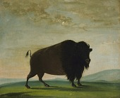 view Buffalo Cow, Grazing on the Prairie digital asset number 1