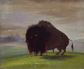 view Wounded Buffalo, Strewing His Blood over the Prairies digital asset number 1