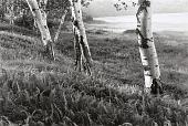 view White Birches digital asset number 1