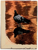 view Untitled (photograph of pigeon reflected in water taken by Susan McCartney) digital asset number 1