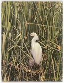 view Untitled (egret in nest with young) digital asset number 1