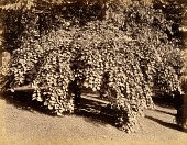view Weeping Elm, from the album Views of Charlestown, New Hampshire digital asset number 1