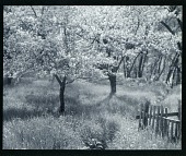 view Apple Trees in Blossom digital asset number 1