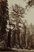 view The Grizzly Giant, Mariposa Grove, Yosemite, California digital asset number 1