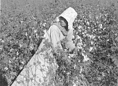 view Mexican woman, seasonal labor contracted for by planters, picking cotton on Knowlton Plantation, Perthshire, Mississippi Delta, Mississippi digital asset number 1