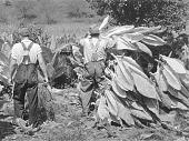 view Mountaineers cutting tobacco. Jackson, Kentucky digital asset number 1