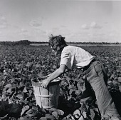view A woman from New Jersey picking beans. Hampers are heavy and must be moved along as one picks. Homestead, Florida digital asset number 1