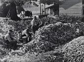 view Corn-shucking at the Fred Wilkins farm. Stem, North Carolina digital asset number 1