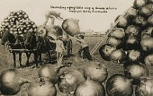 view Harvesting a Profitable Crop of Onions in Iowa digital asset number 1