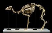 view Pleistocene Skeleton digital asset number 1