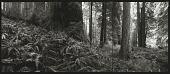 view National Champion Coast Redwood, California, 1994 digital asset number 1