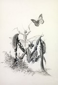 view A Mantis, from Lettered Creatures digital asset number 1