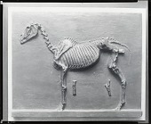 view Horse Skeleton [sculpture] / (photographed by Peter A. Juley & Son) digital asset number 1