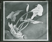 view Calla Lilies (Bert Savoy) [painting] / (photographed by Peter A. Juley & Son) digital asset number 1