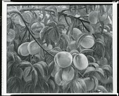 view Tree Branch with Fruit [painting] / (photographed by Peter A. Juley & Son) digital asset number 1