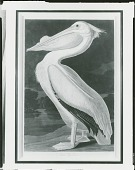 view American White Pelican, Pelicanus Americanus [graphic arts] / (photographed by Peter A. Juley & Son) digital asset number 1