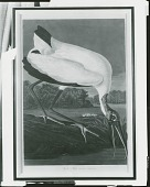 view Wood Ibis, Tantales Loculator [graphic arts] / (photographed by Peter A. Juley & Son) digital asset number 1
